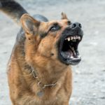Are German Shepherds Good Guard Dogs? (Training Tips Included)