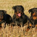 Best Companion Dog for Rottweiler (Top 5 Dogs)