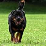 Are Rottweilers Easy to Train? (And Tips For Training)