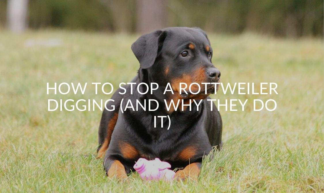 How To Stop A Rottweiler Digging (And Why They Do It)