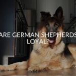 Are German Shepherds Loyal?