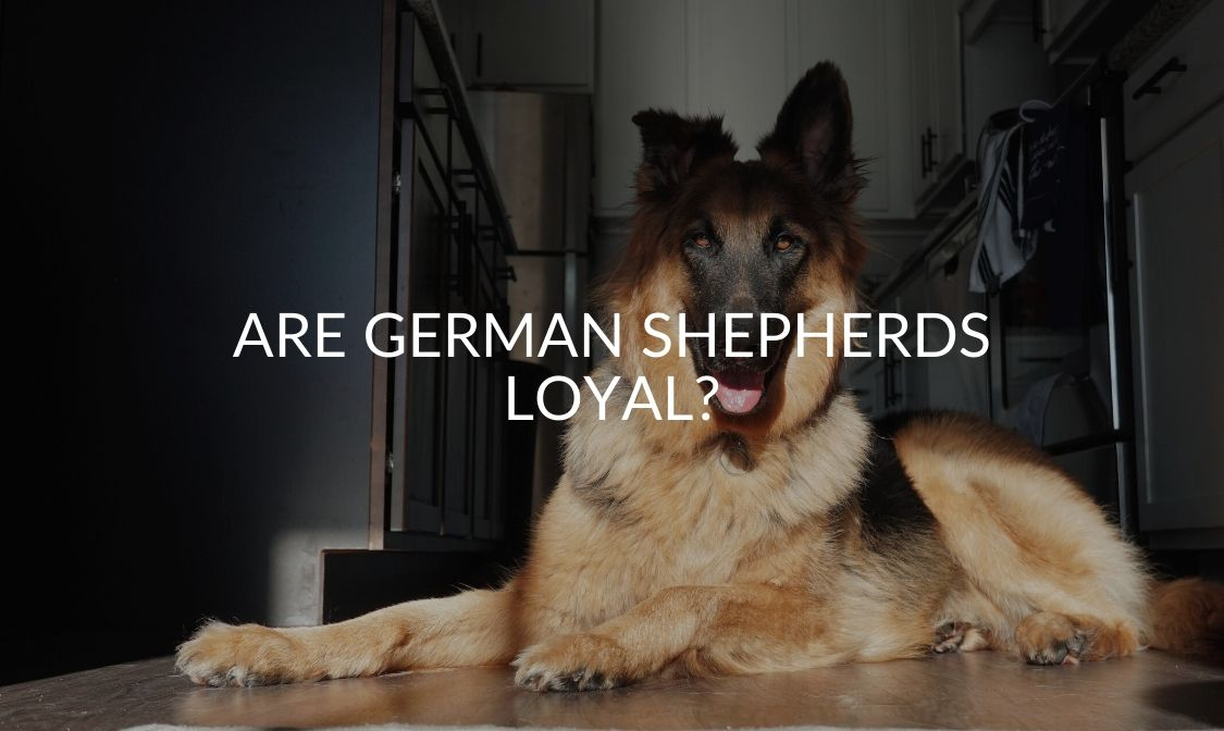 Are German Shepherds Loyal_