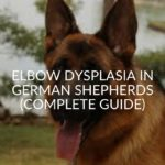 Elbow Dysplasia In German Shepherds (Complete Guide)
