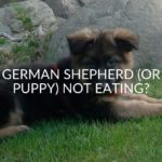 German Shepherd (Or Puppy) Not Eating_