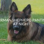 German Shepherd Panting At Night (Causes & Treatments)