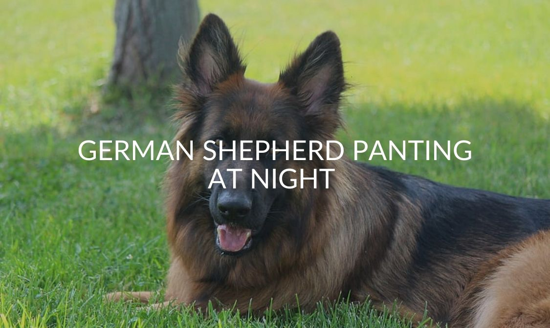 German Shepherd Panting At Night