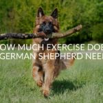 How Much Exercise Does a German Shepherd Need_