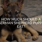 How Much Should A German Shepherd Puppy Eat_