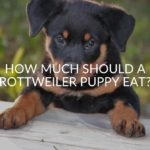 How Much Should A Rottweiler Puppy Eat?