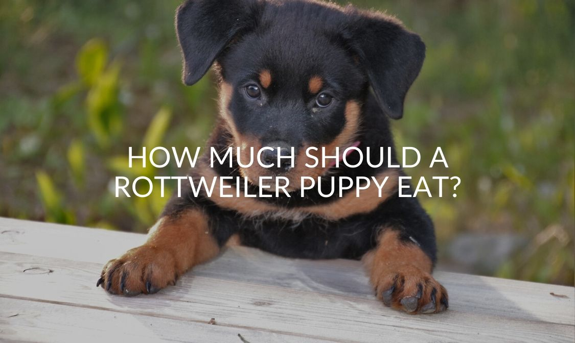 How Much Should A Rottweiler Puppy Eat_