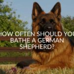 How Often Should You Bathe A German Shepherd_