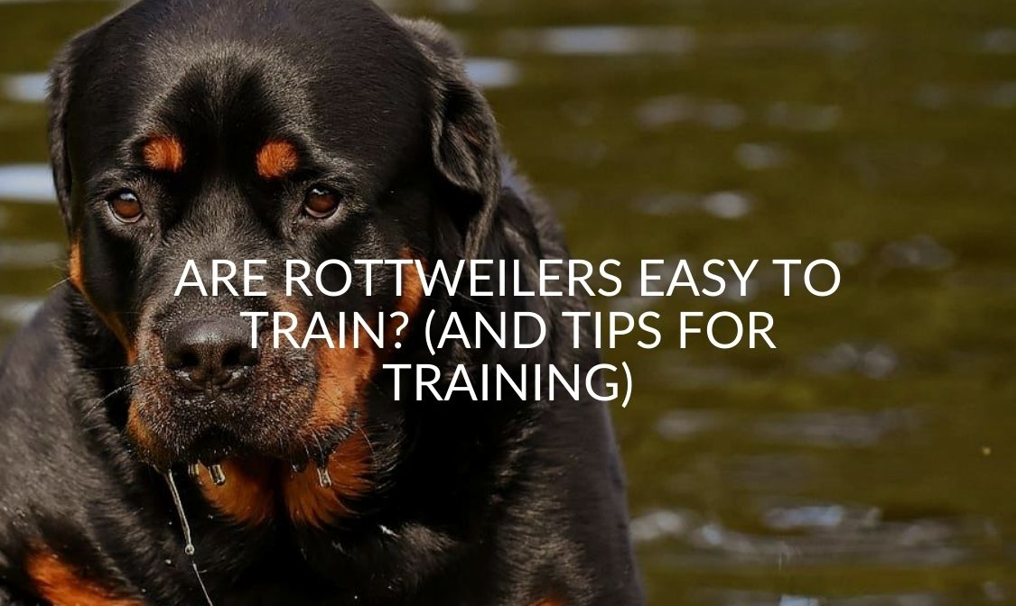 Are Rottweilers Easy to Train_ (And Tips For Training)