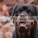 Are Rottweilers Good With Cats? (And How To Make It Work)