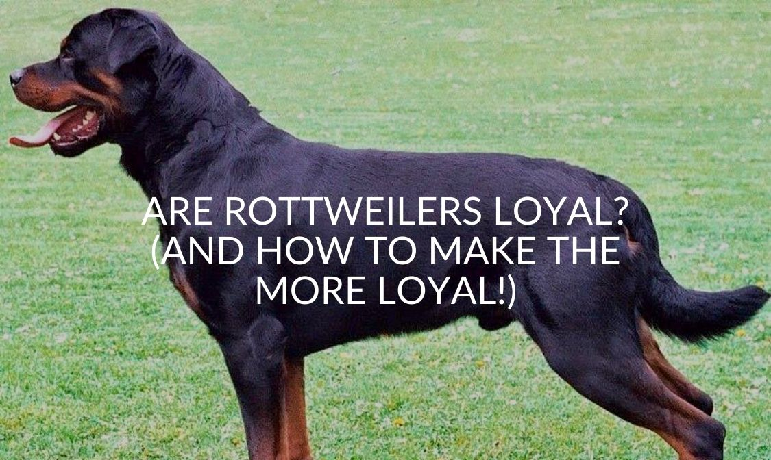 Are Rottweilers Loyal_ (And How To Make The More Loyal!)