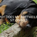 Why Does My Rottweiler Sit On Me?