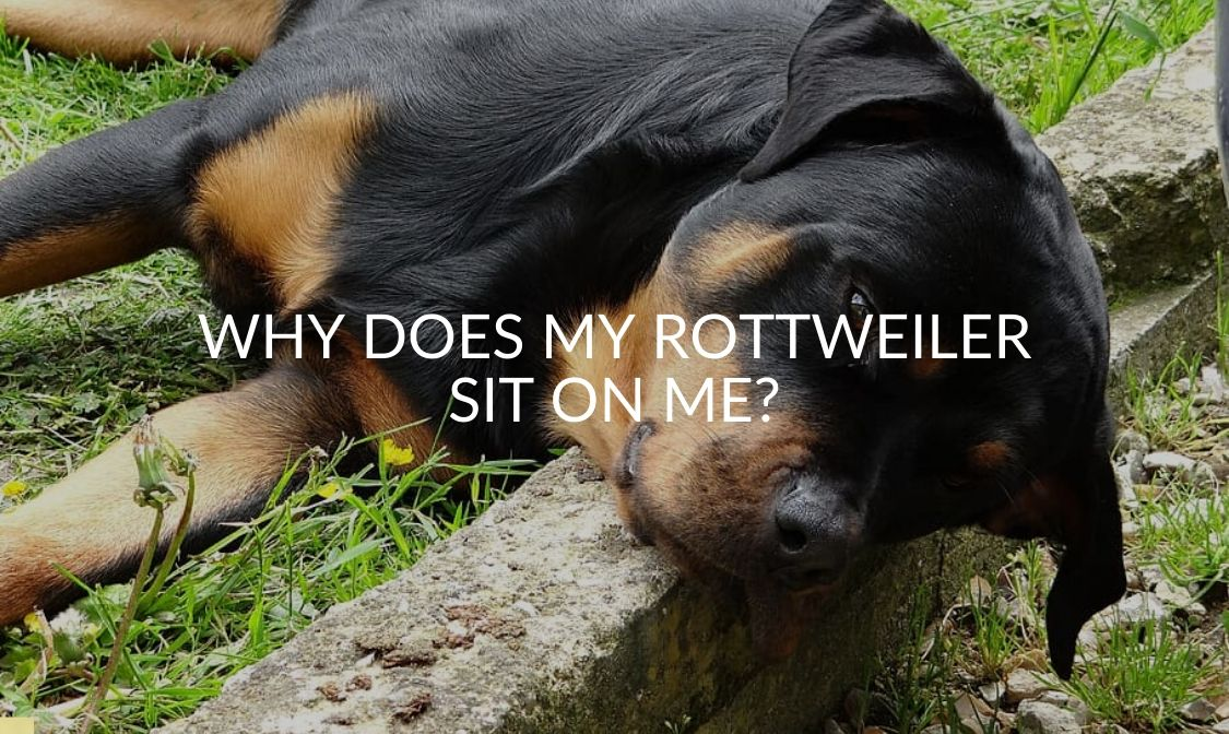 _ Why Does My Rottweiler Sit on Me_