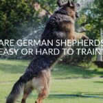 Are German Shepherds Easy Or Hard To Train_