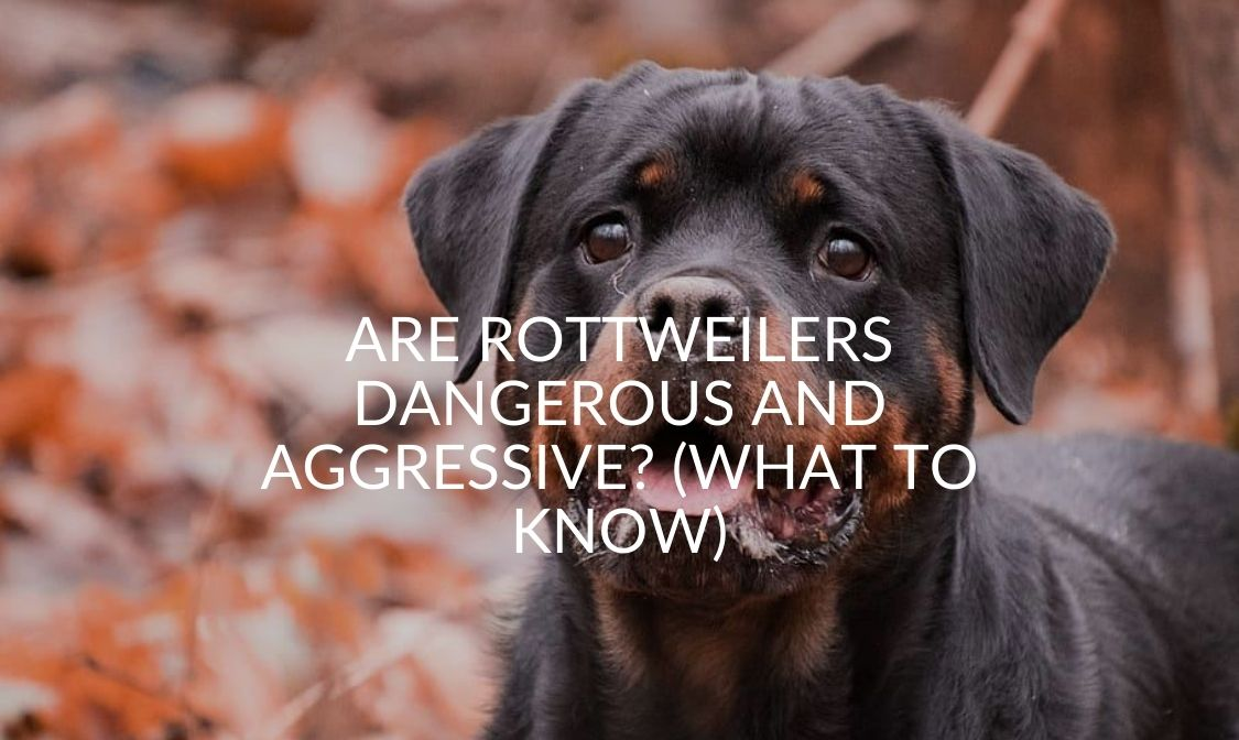Are Rottweilers Dangerous And Aggressive_ (What To Know)