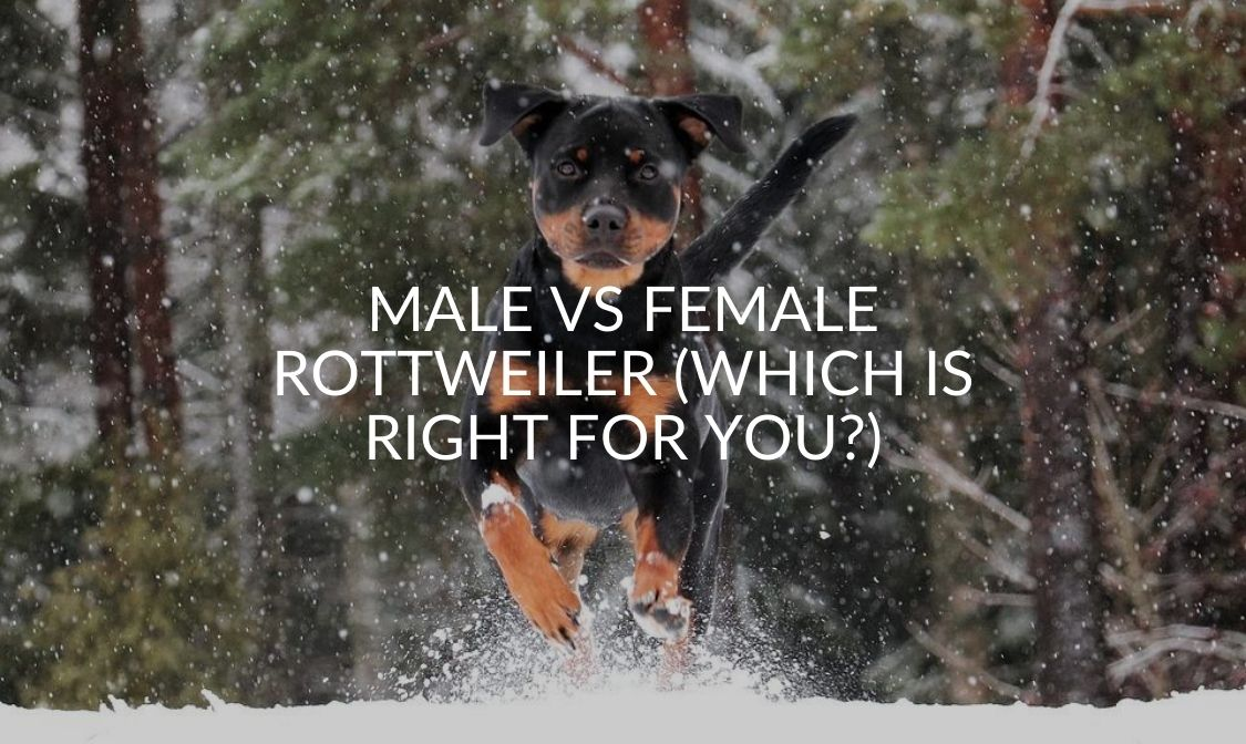 Male Vs Female Rottweiler (Which Is Right For You_)