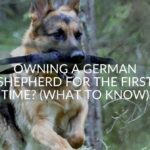 Owning A German Shepherd For The First Time_ (What To Know)