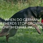 When Do German Shepherds Stop Growing? (Growth Chart Included)