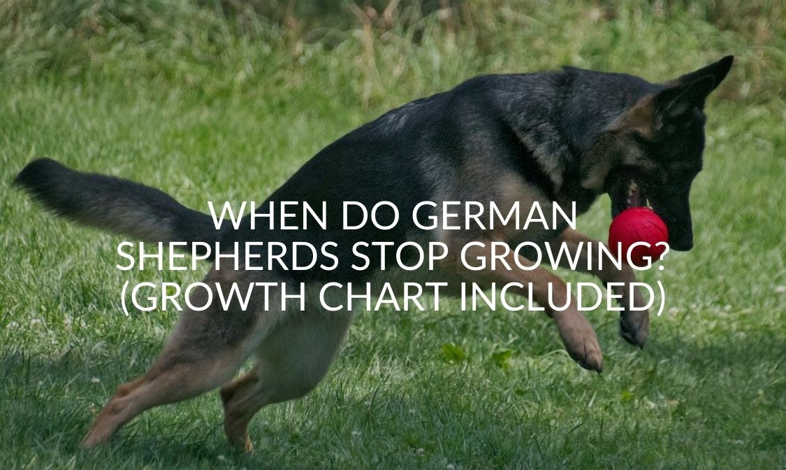When Do German Shepherds Stop Growing_ (Growth Chart Included)