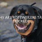 Why Are Rottweilers Tails Docked? (And Should You Dock Yours)