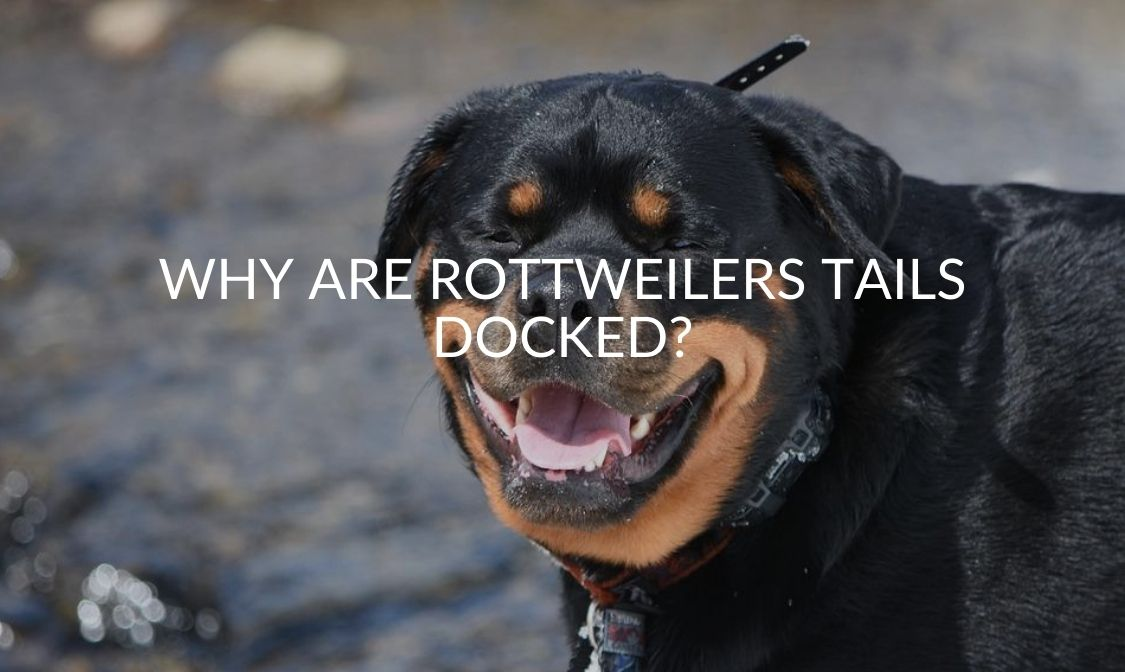 Why Are Rottweilers Tails Docked