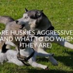 Are Huskies Aggressive? (And What To Do When They Are)