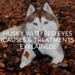 Husky With Red Eyes (Causes & Treatments Explained)