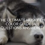 The ULTIMATE Husky Eye Color Guide (All Questions Answered)