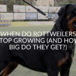 When Do Rottweilers Stop Growing (And How Big Do They Get?)