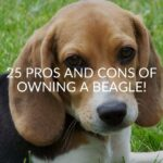 25 Pros And Cons Of Owning A Beagle!