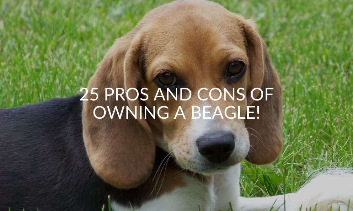 25 Pros And Cons Of Owning A Beagle! (1)