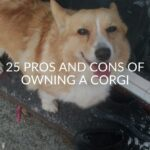 25 Pros And Cons Of Owning A Corgi (FAQ Included)