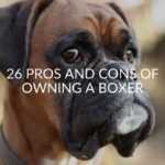 26 Pros And Cons Of Owning A Boxer (FAQ Included)