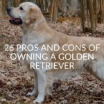 26 Pros And Cons Of Owning A Golden Retriever