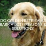 Do Golden Retrievers Bark A Lot? (Reasons & Solutions)