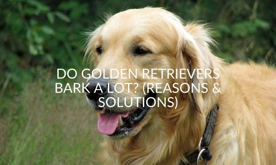 Do Golden Retrievers Bark A Lot_ (Reasons & Solutions) (1)