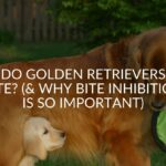 Do Golden Retrievers Bite? (& Why Bite Inhibition Is So Important)