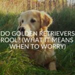 12 Reasons Your Golden Retriever Is Drooling (And What To Do)