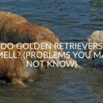 Do Golden Retrievers Smell? (Problems You May Not Know)