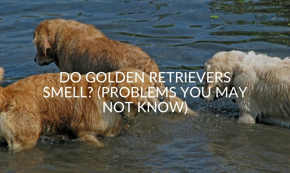 Do Golden Retrievers Smell_ (Problems You May Not Know)