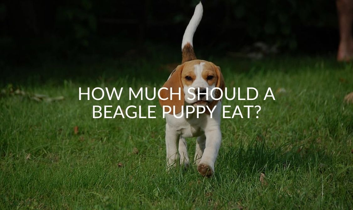 How Much Should a Beagle Puppy Eat_
