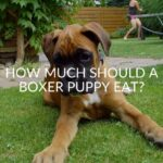 How Much Should a Boxer Puppy Eat?