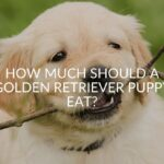 How Much Should a Golden Retriever Puppy Eat?