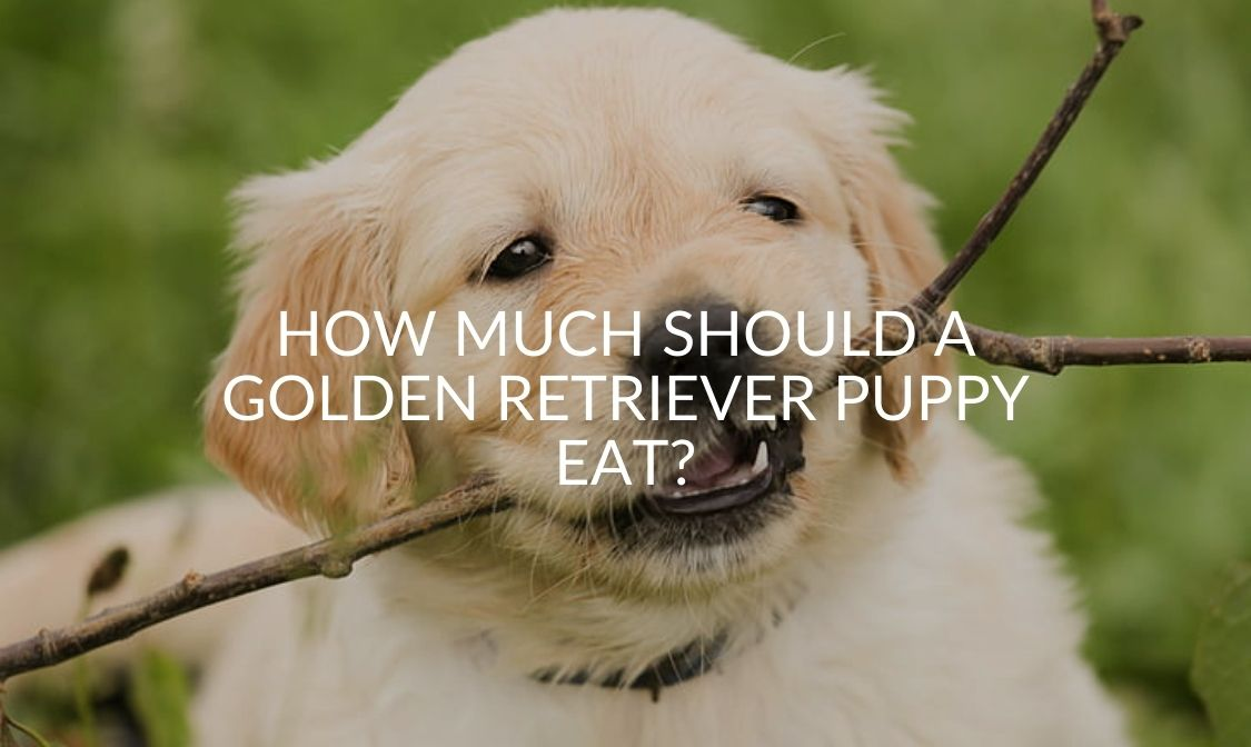 How Much Should a Golden Retriever Puppy Eat_