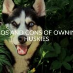 15 Pros And Cons Of Owning Huskies (FAQ Included)