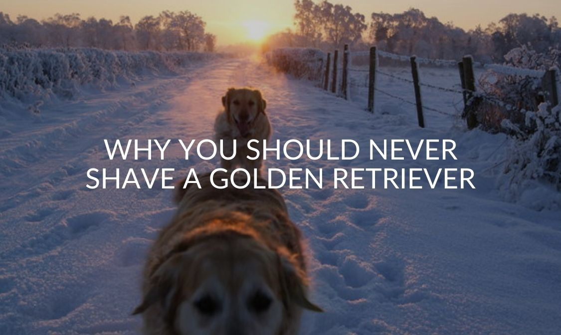 Why You Should NEVER Shave A Golden Retriever