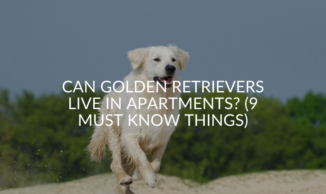 Can Golden Retrievers Live In Apartments_ (9 MUST Know Things)